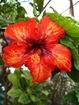 Hibiscus de Polynésie