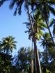 Monter de cocotier