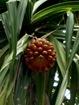 non ce n'est pas un ananas, mais le fruit du Pandanus!